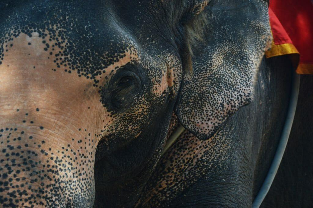 Elephant at Sanctuary of Truth, Pattaya, Thailand, November 2016 © Luchia Houghton